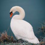 Coda: My Swan Song